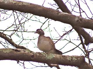 Wood Duck, ML90692571
