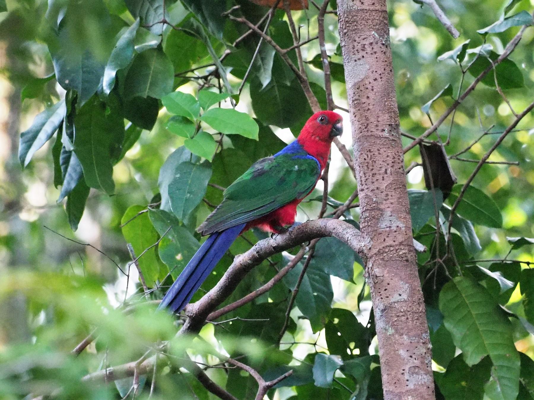 Moluccan King-Parrot - Richard Pollard