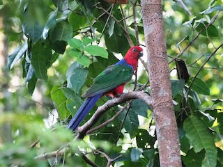 - Moluccan King-Parrot