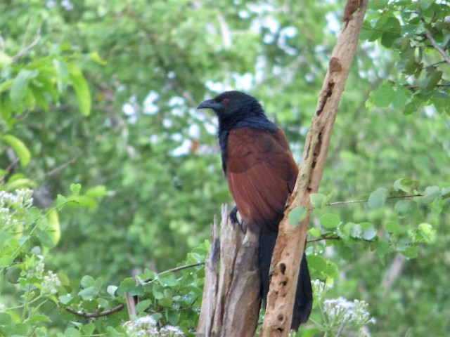Greater Coucal (Southern)