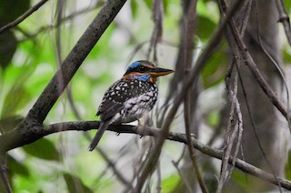 - Spotted Kingfisher
