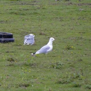 Ring-billed Gull, ML90890841
