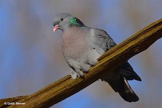 Stock Dove, ML90975081
