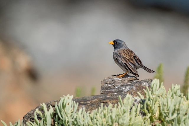 Band-tailed Sierra-Finch