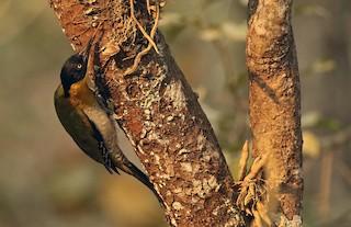 - Black-headed Woodpecker