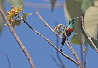 - Beautiful Sunbird