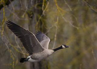 Canada Goose, ML91238861