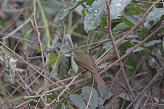 - Little Greenbul