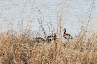Black-bellied Whistling-Duck, ML91320091