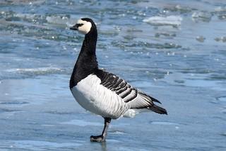 Barnacle Goose, ML91373891