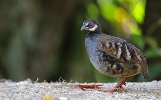 - Malaysian Partridge