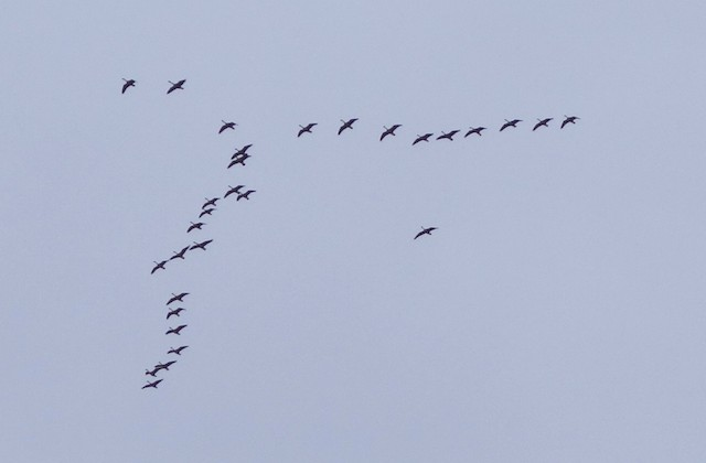 ©R O - Canada Goose