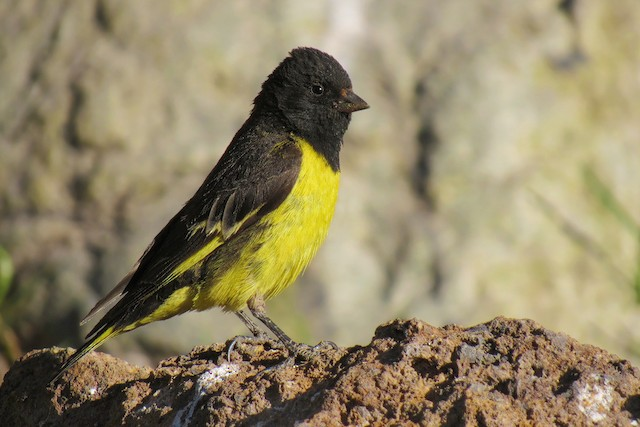 Yellow-rumped Siskin