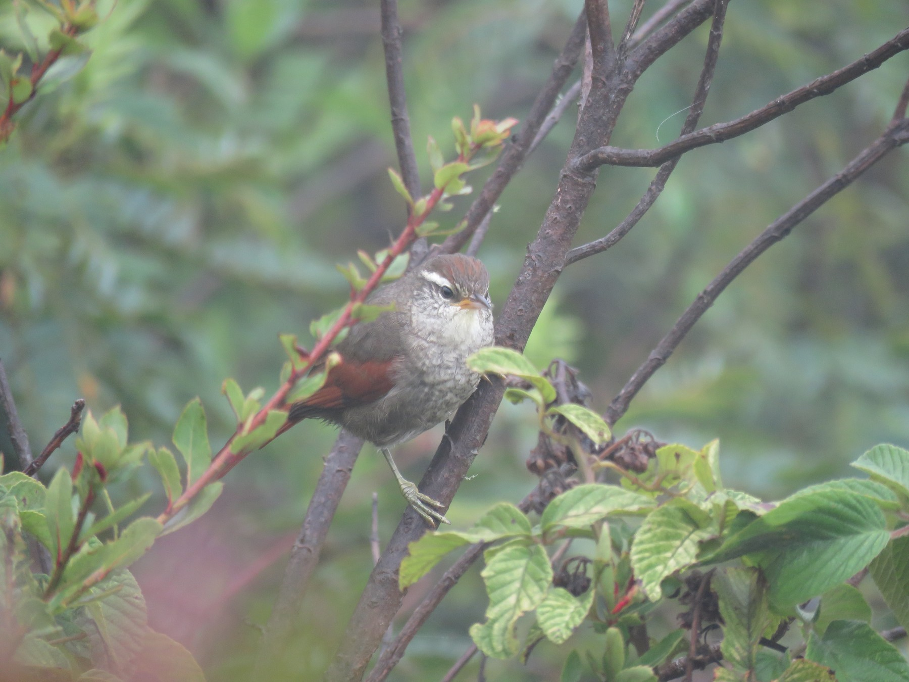 Line-cheeked Spinetail (Baron's) - Manuel Roncal-Rabanal