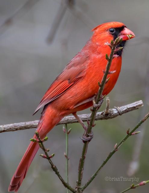 ©Brian Murphy - Northern Cardinal