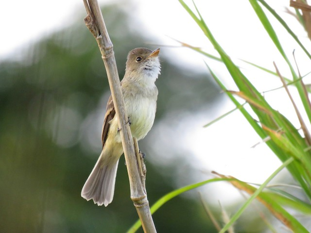 White-throated Flycatcher singing.