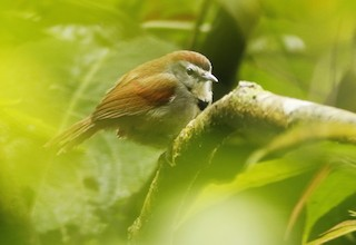 - Crescent-chested Babbler