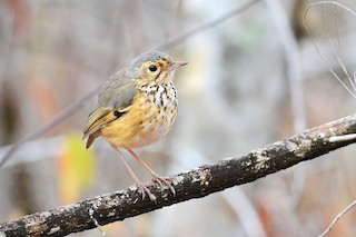 - White-browed Antpitta