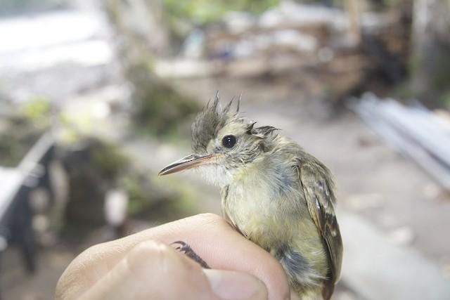 Cocos Flycatcher