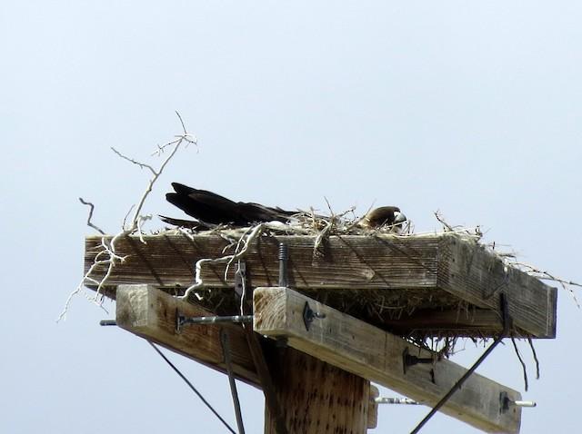 Nest on a nesting platform.