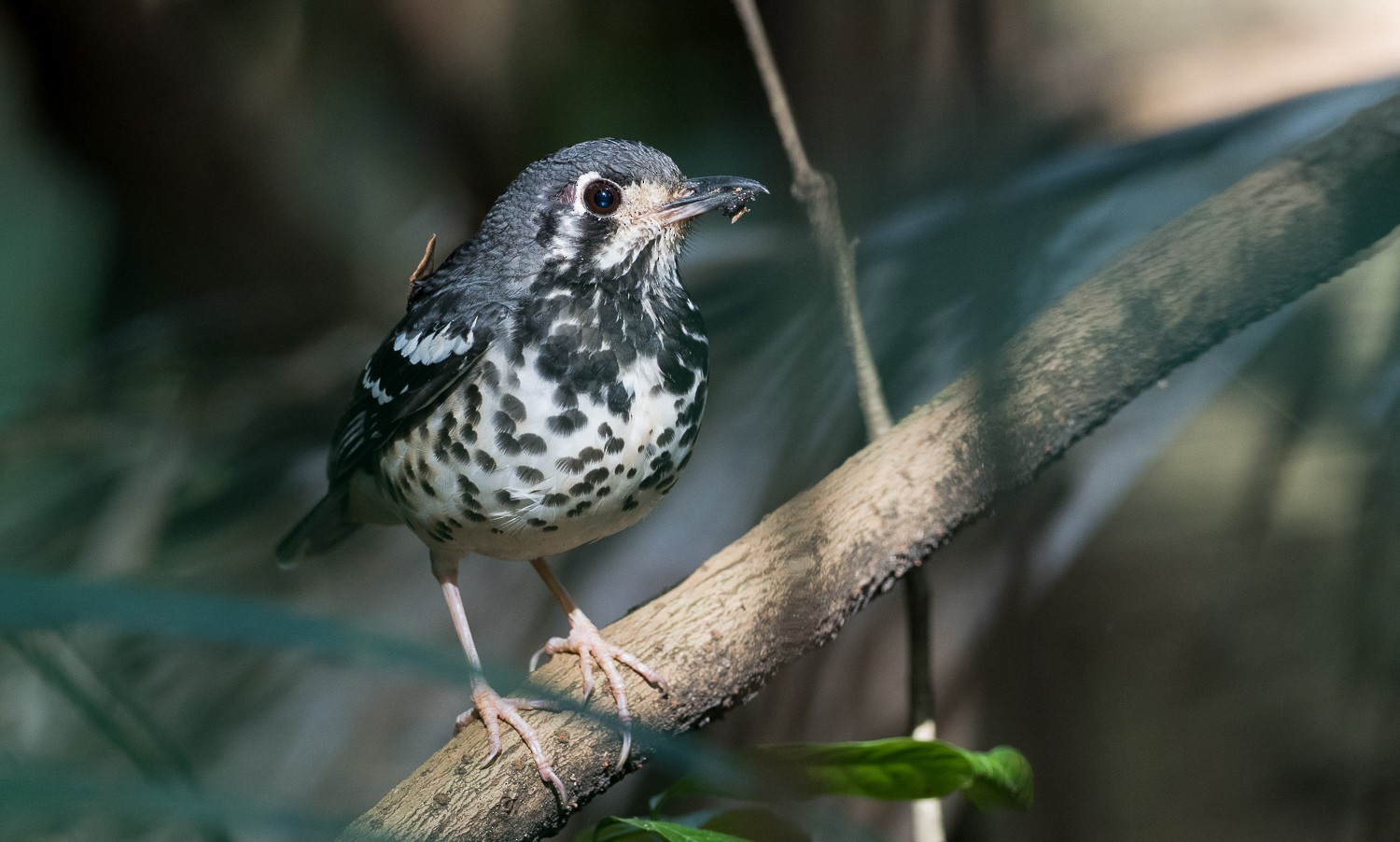Ashy Thrush - Forest Jarvis