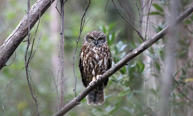 Morepork (Tasmanian)