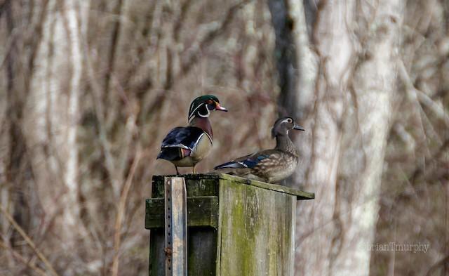 ©Brian Murphy - Wood Duck