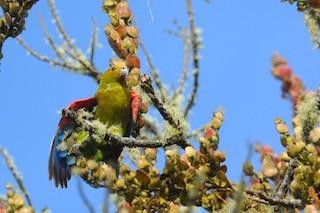 - Indigo-winged Parrot