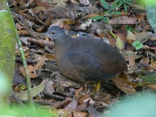 Little Tinamou, ML92208271