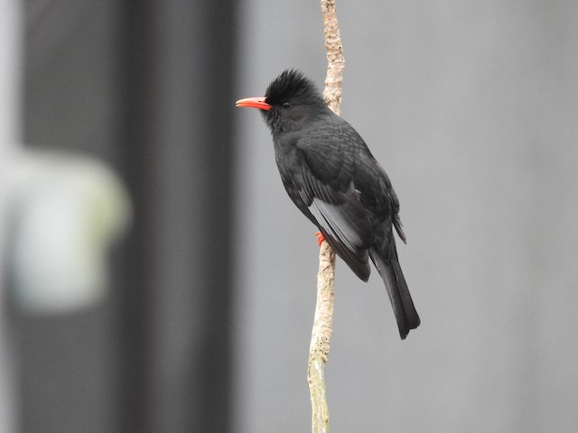 Black Bulbul (Gray-winged)