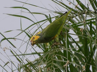 - Yellow-faced Parrot
