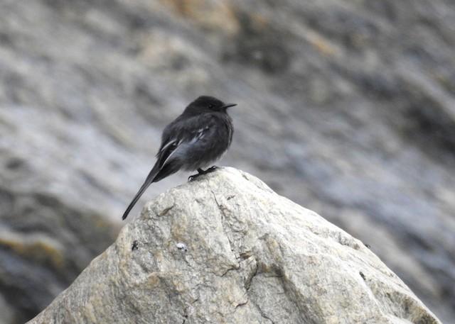 Black Phoebe (White-winged)