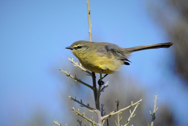 Greater Wagtail-Tyrant