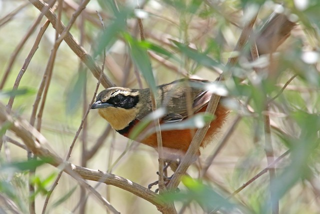Olive-crowned Crescentchest
