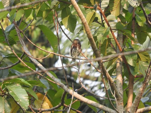 Chestnut-backed Owlet