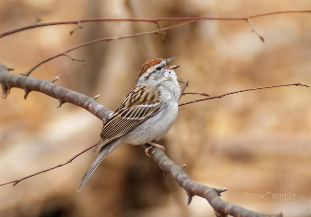 © Brian Murphy - Chipping Sparrow