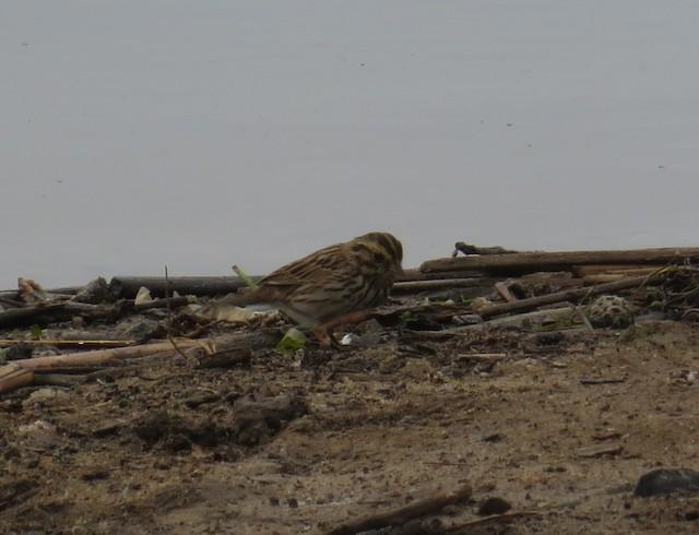 Savannah Sparrow (Belding's)