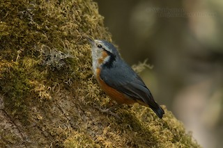 - White-browed Nuthatch