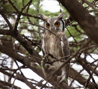 - Northern White-faced Owl