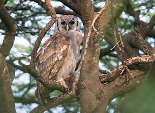 - Verreaux's Eagle-Owl