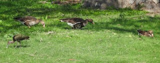 Greater White-fronted Goose, ML92852951