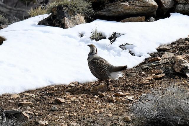 Himalayan Snowcock