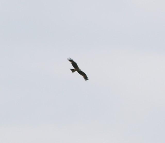 Black Kite (Black)