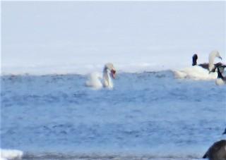 Mute Swan, ML92996251