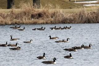 Cackling Goose, ML93040081