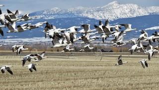 Snow Goose, ML93071031