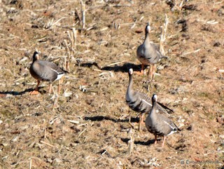 Greater White-fronted Goose, ML93120601