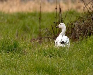 Snow Goose, ML93139181