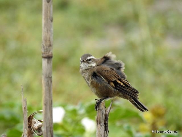Buff-winged Cinclodes