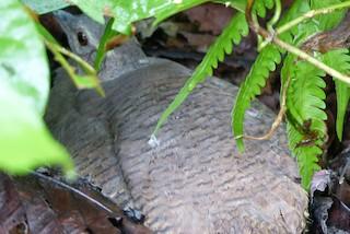 Pale-browed Tinamou, ML93244531